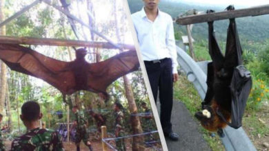 Photo of A Human-Size Bat from the Philippines is now on Trending Spotlight