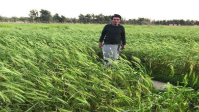 Wheat Cultivation Is Present In Kuwaiti Lands
